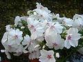 Phlox subulata 'Amazing grace' 1.JPG