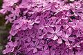 Phlox subulata s01.jpg