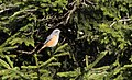 Phoenicurus phoenicurus - Common Redstart, Giresun 2018-08-16 02.jpg