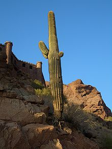 Phoenix-Camelback-Saguaro-with-exposed-roots-2728.JPG