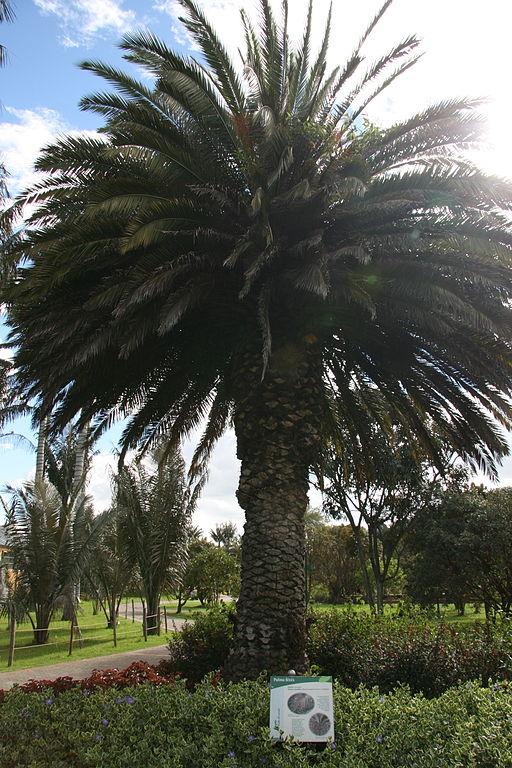 Phoenix canariensis Bogotá