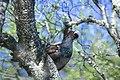 Photo pierre guiton grand tétras mâle .jpg