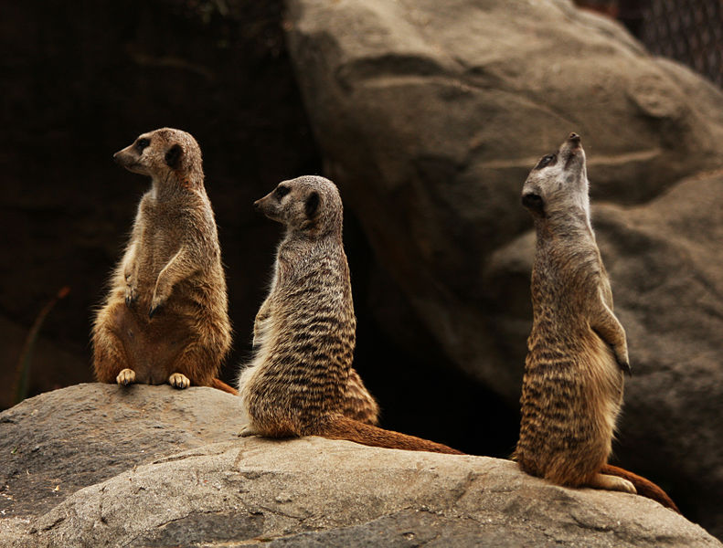 File:Photograph of a Meerkat Family (3848828176).jpg