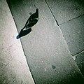 Piazza Duomo Pigeon - panoramio.jpg
