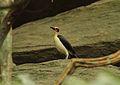 Picathartes gymnocephalus (Picathartidae) (White-necked Rockfowl), Ashanti, Ghana.jpg