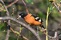 Picogordo Tigrillo, Black Headed Grosbeak, Pheucticus melanocephalus (13951820743).jpg