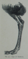 Picture Natural History - No 151 - Leg of Ostrich.png