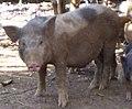 Pig De of E De people.JPG