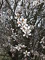 PikiWiki Israel 18880 Flowering almond.JPG