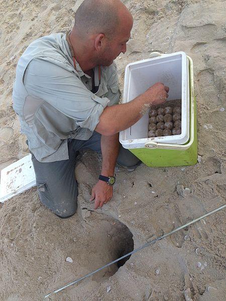 ביצי צבים בחוף בית ינאי