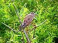 Pinckney Island National Wildlife Refuge (5958497276).jpg