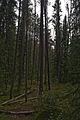 Pine Forest near Athabasca Falls, Jasper National Park (7853823048).jpg