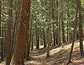 Pine Trail (4) (13958998831).jpg