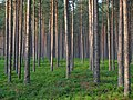 Pine forest in Estonia.jpg