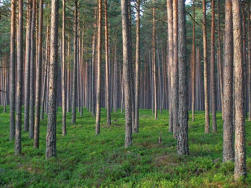 File:Pine forest in Estonia.jpg