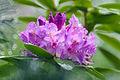 Pink Azalea in the Rain (8831984402).jpg