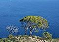 Pins i la mar, penyal d'Ifac.JPG