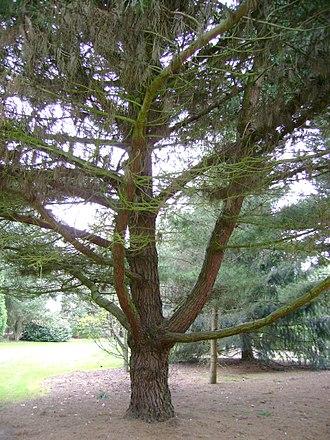 Bishop pine - Growth habit