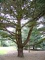 Pinus muricata 2.jpg