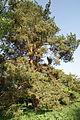 Pinus sylvestris in Botanical garden, Minsk.jpg