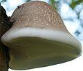 Piptoporus betulinus 888.jpg