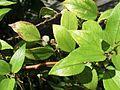 Pipturus albidus (5187737419).jpg