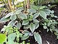 Pipturus argenteus - Jardin Botanique de Lyon - DSC05365.JPG