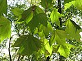 Platanus hispanica (2).jpg