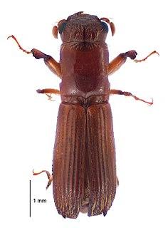 <i>Platypus apicalis</i> A wood boring beetle endemic to New Zealand