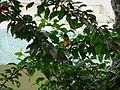 Ploceus cucullatus 0001.jpg