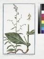 Plumbago quorandam - Dantelaire - Carinella. (Leadwor, Skyflower) (NYPL b14444147-1125069).tiff