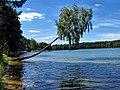 Pochyła brzoza na brzegu jeziora Wdzydze.jpg