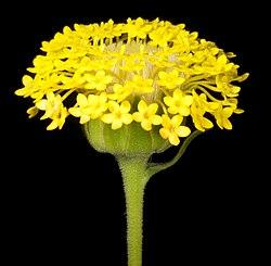 Podotheca chrysantha - Flickr - Kevin Thiele.jpg