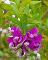 Polígala de hoja de mirto (Polygala myrtifolia), Setúbal, Portugal, 2012-05-08, DD 01.JPG