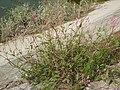 Polygonum longisetum 2.JPG