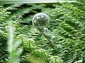 Polystichum setiferum0.jpg