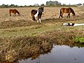 Ponies on the heath, Fox Hill, New Forest - geograph.org.uk - 292256.jpg
