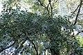 Populus grandidentata kz03.jpg