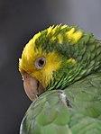 Portrait of Yellow-headed Amazon Parrot.jpg