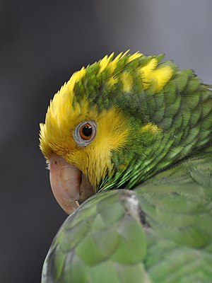English: Portrait of Yellow-headed Amazon Parr...
