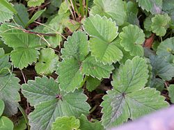 Potentilla sterilis leaves