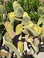 Prickly Pear 3.jpg