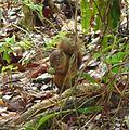 Probably Sciurus granatensis - Flickr - gailhampshire.jpg