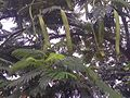 Prosopis glandulosa - India 2.jpg