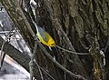 Prothonotary Warbler (34023730523).jpg