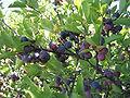 Prunus maritima.jpg