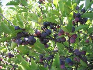 <i>Prunus maritima</i> species of plant