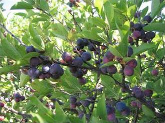 Prunus maritima - Image: Prunus maritima