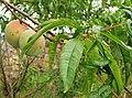 Prunus persica. Pescal.jpg