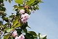 Prunus serrulata Kwanzan 12zz.jpg